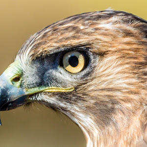 Red-Tailed Hawk Looking Left.jpg