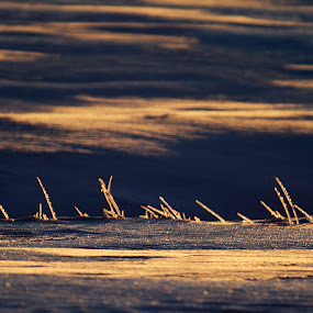 Icy stems on icy snow at sunset by Rachel Bilodeau - Landscapes Prairies, Meadows & Fields