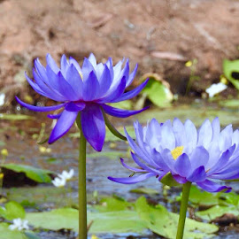 Tyto Lotus  by Sharon Cislowski - Novices Only Flowers & Plants ( lotus, waterlily, nymphaea, nature, purples )