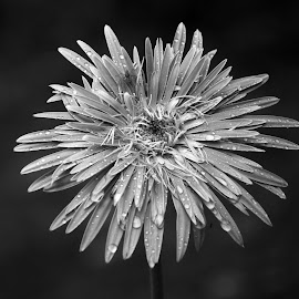 Gerbera  by Asif Bora - Black & White Flowers & Plants (  )
