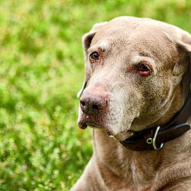Hazel by Jim Antonicello - Animals - Dogs Portraits ( old, dog, friend )
