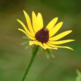 Black eyed Susan by Scott Staley - Nature Up Close Flowers - 2011-2013 ( plant, nature, flora, botanical, flower, floral )