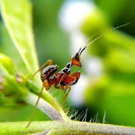 tiny mantis by Hendrata Yoga Surya - Instagram & Mobile Android ( walang keke, insects, congcorang, praying mantis )