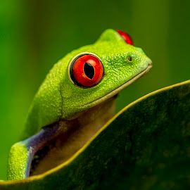 Red Eyed Tree Frog by Sandra Cockayne - Animals Amphibians ( macro, red eyes, red eyed tree frog, tree frog, sandra cockayne, amphibian, frogs, red eye )