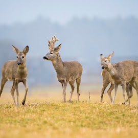 Family photo by Blaž Ocvirk - Animals Other Mammals ( family, roe, deer )