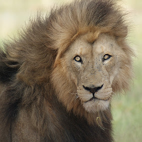 That look.... by Charmane Baleiza - Animals Lions, Tigers & Big Cats ( lion, panthera leo, chaarmane baleiza, lions, male lion )