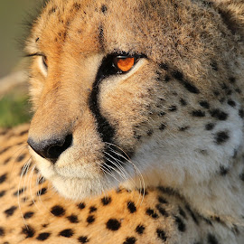 Cheetah up close by Anthony Goldman - Animals Lions, Tigers & Big Cats ( big cat, wild, predator, cheetah, nature, female, wildlife, phinda )