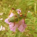 Locust/katydid