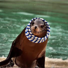 sea lion by Nic Scott - Animals Sea Creatures ( sea lion,  )
