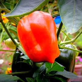 My Orange Bell by Becky Luschei - Nature Up Close Gardens & Produce ( plant, bell, orange, container, grew, gardens, pepper )