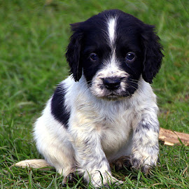 Here I Come, World!! by Chrissie Barrow - Animals - Dogs Puppies ( cocker spaniel, pup, white, speckled, young, eyes, pet, ears, fur, puppy, legs, paws, dog, nose, black )