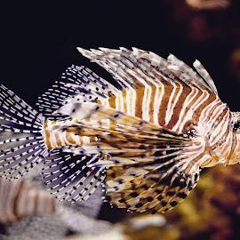 Zebra fish by Sujit Shanshanwal - Animals Amphibians ( marine, aquatic, fish, aquarium, zebra )