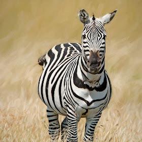 Zebra1914pa.jpg