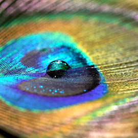 majestic Drop  by Saumya Pareek - Novices Only Macro ( water, macro, drop, feather, peacock )