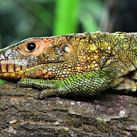 by Koh Chip Whye - Animals Reptiles