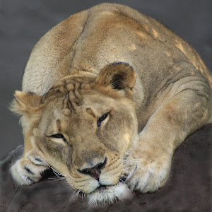 lioness on rock.jpg