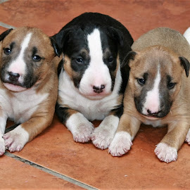 What a litter by Danie Minnaar - Animals - Dogs Puppies ( puppies, dogs, cuddly, annimals, cute )