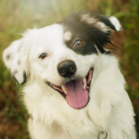 Happy, Happy, Happy by Christy Borders - Animals - Dogs Portraits ( morning light, australian shepherd, happy dog, aussie )