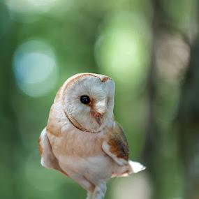 Tyto alba (Barbagianni) by Eric Niko - Animals Birds ( bird, nikon d700, rapace, bird of prey, barbagianni, night, tyto alba, nikon 70-200,  )