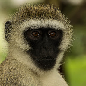 Vervet Monkey Portrait by Tom Howes - Animals Other Mammals ( tanzania, monkey )