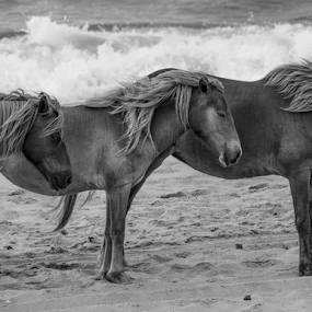 three sisters by Dale Youngkin - Animals Horses ( animals, horses, black and white, beach, wild horses,  )