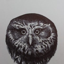 Native New Zealand Ruru (Morepork) by Virginia Nicol - Drawing All Drawing ( bird, sketch, nature, native, morepork, art, owl, drawing )