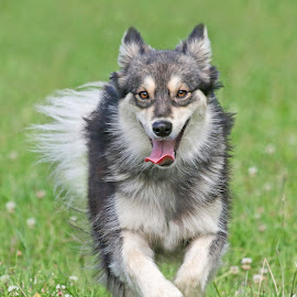 Happiness by Mia Ikonen - Animals - Dogs Running ( canine, finnish lapphund, pet, happy, outdoors, action, finland, fun, dog, motion, running, mia ikonen )
