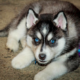 Olaf by Troy Oster - Animals - Dogs Portraits ( siberian husky, blue eyes, husky )