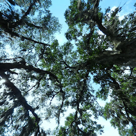 Under Florida Trees by Kathy Rose Willis - Nature Up Close Trees & Bushes ( tree trunks, blue, green, white, above, trees, leaves, black, spanish moss,  )