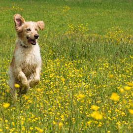 Happy Hiro by Dubravka Krickic - Animals - Dogs Running ( field, yellow flowers, playing, croatia, cute, dog, running )
