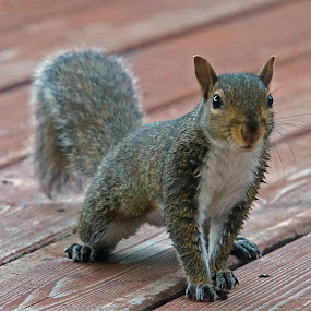 Waiting for Peanuts by Gary Amendola - Animals Other Mammals ( alert, grey, squirrel,  )