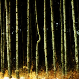 The piny woods by Glenda Clausen - Landscapes Forests ( pines, dark, trees, light, crowded )