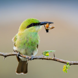 Green Bee-Eater With Catch..! by Ramesh Desai - Animals Birds