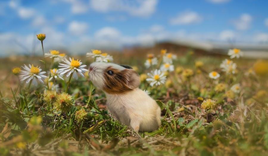 Enjoy the Journey by Carole Pallier  - Digital Art Animals ( art, daisies, flowers, field, nature, composite, animal, guineapig, manipulation, pet )