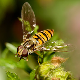 Hover Fly by Stephen Crawford - Animals Insects & Spiders ( colour, macro, hover fly, yellow, close up, garden, black,  )