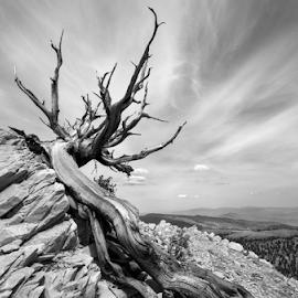 Grandmother  by Michael Keel - Nature Up Close Trees & Bushes ( ancient bristlecone, sierra nevada, brisltecone, white mountain, forest, sierra, pine, big pine )