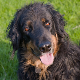 Smiling Boom by Dagmar Fialová - Animals - Dogs Portraits ( smiling dog, hovawart, smile, dog, black, smiling )