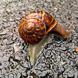 Melc melc codobelc by Dobrin Anca - Animals Other ( crossing, green, street, brittany, snail )