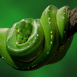 by Shawn Thomas - Animals Reptiles