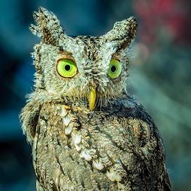 by Judy Rosanno - Animals Birds ( birds of prey, february 28th 2018, kerrville renaissance festival )
