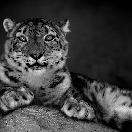 Snow Leopard Perch by Shawn Thomas - Black & White Animals