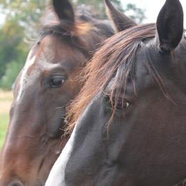 by Linda    L Tatler - Animals Horses