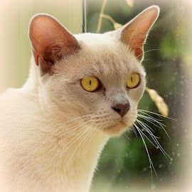 mathilda by Caroline Beaumont - Animals - Cats Portraits ( kitten, cat, lilac, head, burmese, eyes )