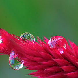 Water Drop by Ikhwan Ameer - Nature Up Close Natural Waterdrops ( water, contest, water drop )