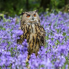 Eagle owl by Garry Chisholm - Animals Birds ( bird, garry chisholm, eagle, natre, owl, wildlife, prey, flowers, bluebells )