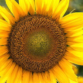 Single Flower by Carol Ward - Flowers Flowers in the Wild ( salisbury, single flower, flowers in the wild, maryland, sunflower field, flowers )
