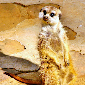 Curious by Adell du Plessis - Animals Other Mammals ( sitting, meerkat, yellow, mammal, animal )
