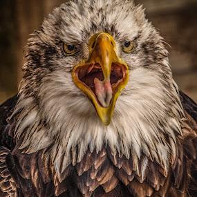 McCoy by Garry Chisholm - Animals Birds ( eagle, raptor, bald )