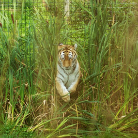 Amongst the Rushes by Andrea Clayton - Novices Only Wildlife ( cats, animals, tiger, wildlife )