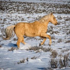 Wild Palomino Mustang by Ken Wagner - Animals Horses ( palomino, wilderness, winter, horses, snow, nikon, wild horses )